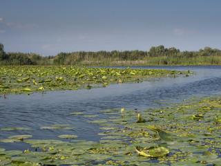 Seerosen auf einem See im Donaudelta (Rumänien).