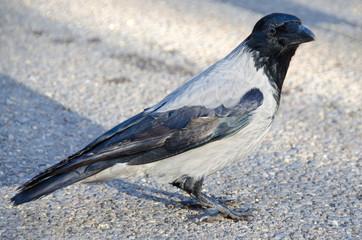Hooded grey crow