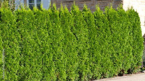 Hecke Thuja Stock Photo And Royalty Free Images On Fotolia Com