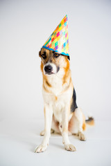 Dog in a party hat