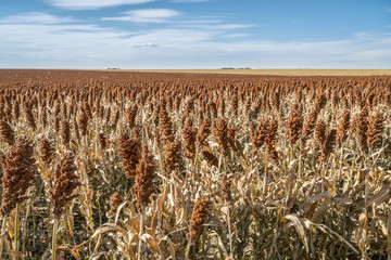 sorghum field in Kansas