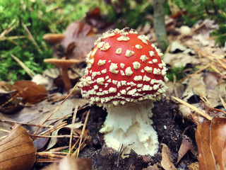 Red white-dotted amanita mushroom in autumn forest