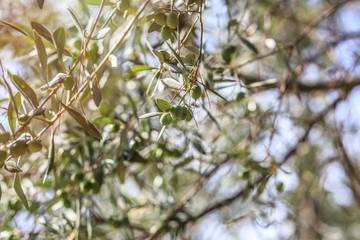 Olive tree. Olives on olive tree branch