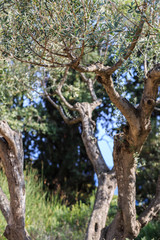 Olive tree. Olives on olive tree branch