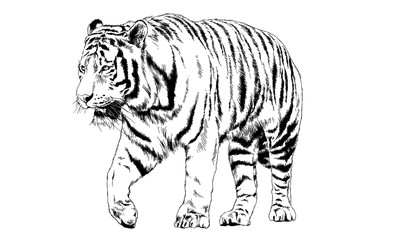 big tiger painted ink from hands in full growth on a white background
