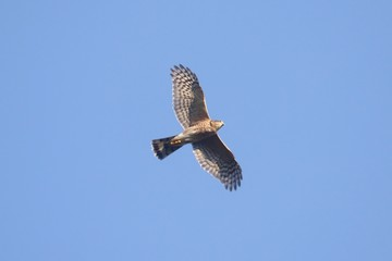 Fotoväggar - Sharp-shinned Hawk In Flight