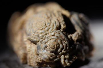 fossile Tierkolonie