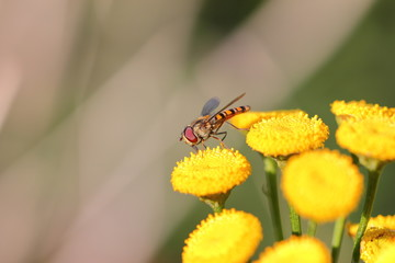Flower fly or hoverfly pollinating yellow flowers. Macro close up shot.