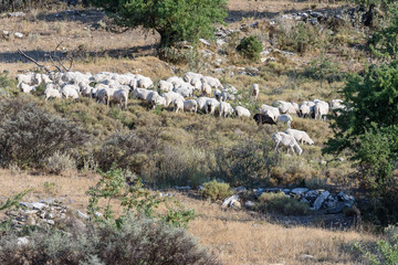 Flock of sheep on a mountain the vastness of Greece