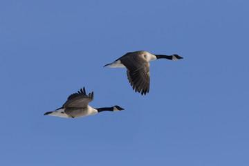 canada goose in spring migration