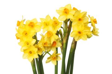 Photo sur Plexiglas Narcisse Spray of narcissus flowers