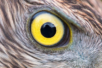 eagle eye close-up, macro photo, eye of the Goshawk