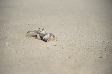 ghost crab on a tropical beach