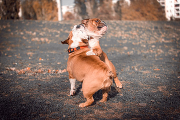 Couple of English bulldogs playing in the park,selective focus and blurred motion