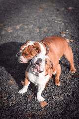 Couple of English bulldogs playing outdoor