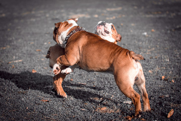 Couple of English bulldogs playing outdoor,selective focus and blurred motion