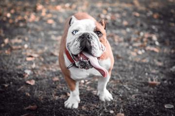 Portrait of female English bulldog with blue eye,selective focus
