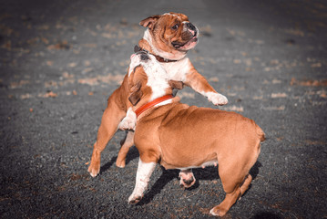 English bulldogs playing in the park,selective focus and blurred motion