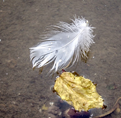 Swan's feather on the water