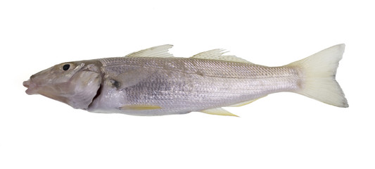 Sand (Summer) Whiting