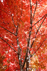 Sugar maple tree, red in the fall