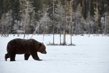 Wild brown bear walking in the snow