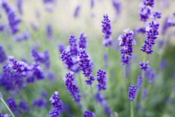 fields of lavender on the summer time