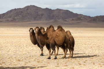 Camels in the desert of Western Mongolia.