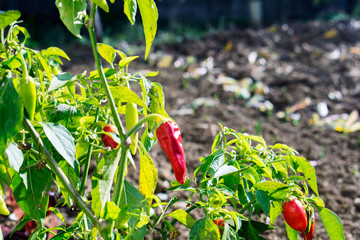 Canvas Prints Hot chili peppers red paprika plant in the garden .red hot chili pepper