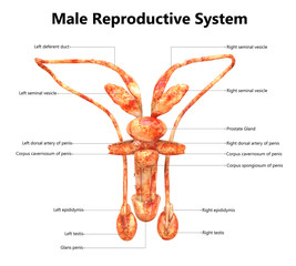 Male Reproductive System Anatomy (Detailed Labels) Posterior view