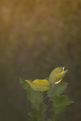 Apple Seedling in Soft Light