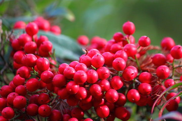 Red berries ripe for Christmas displays