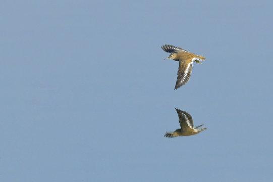 Sandpiper in Flight to Catch Prey