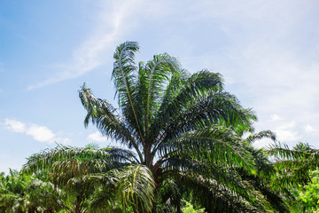 Palm trees with sky.