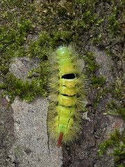 Caterpillar of the Pale tussock moth Halysidota tessellaris