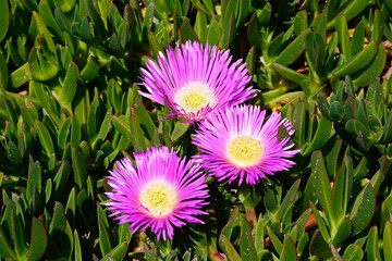 Trailing ice plants on the cliff tops, Malta.