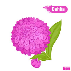 Blooming beautiful dahlia flower