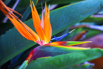 Backyard Bird of Paradise