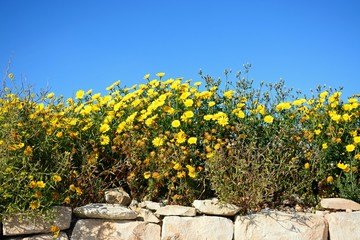 Pretty yellow Spring flowers edged with limestone rocks during the Springtime, Malta.
