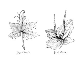Hand Drawn of Grape Leaf and Greater Plantain