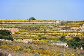 Pretty yellow Spring flowers in terraced fields near Siggiewi during the Springtime, Dingli, Malta.