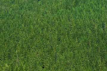 Pine Trees Create a beautiful green Texture background, Shot from a Distance