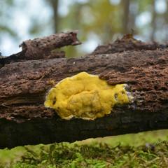 hypocrea sulphurea fungus