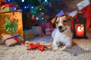 jack russel under a Christmas tree with gifts and candles celebrating Christmas