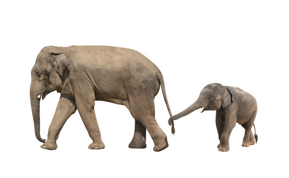 Walking family of elephant - mom and baby