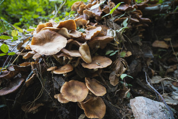 Honey mushrooms cluster in the forest, closeup shot