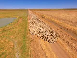 Aerial view of large Sheep Herd in Outback Australia with farmer and sheep dog working n large sheep station
