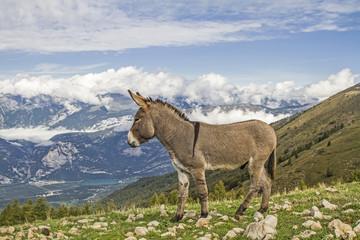 Foto auf Leinwand Esel Esel auf einer Bergwiese im Trentino