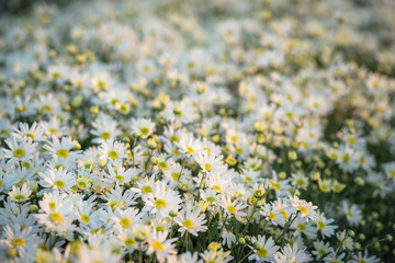 White daisy flowers in early morning sunlight