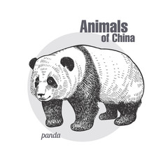 Vintage engraving of animal panda.